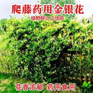 药用金银花苗盆栽爬墙爬藤四季阳台