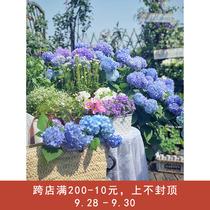 海蒂花园无尽夏新老枝开花大花绣球勤花阳台庭院花卉植物盆栽