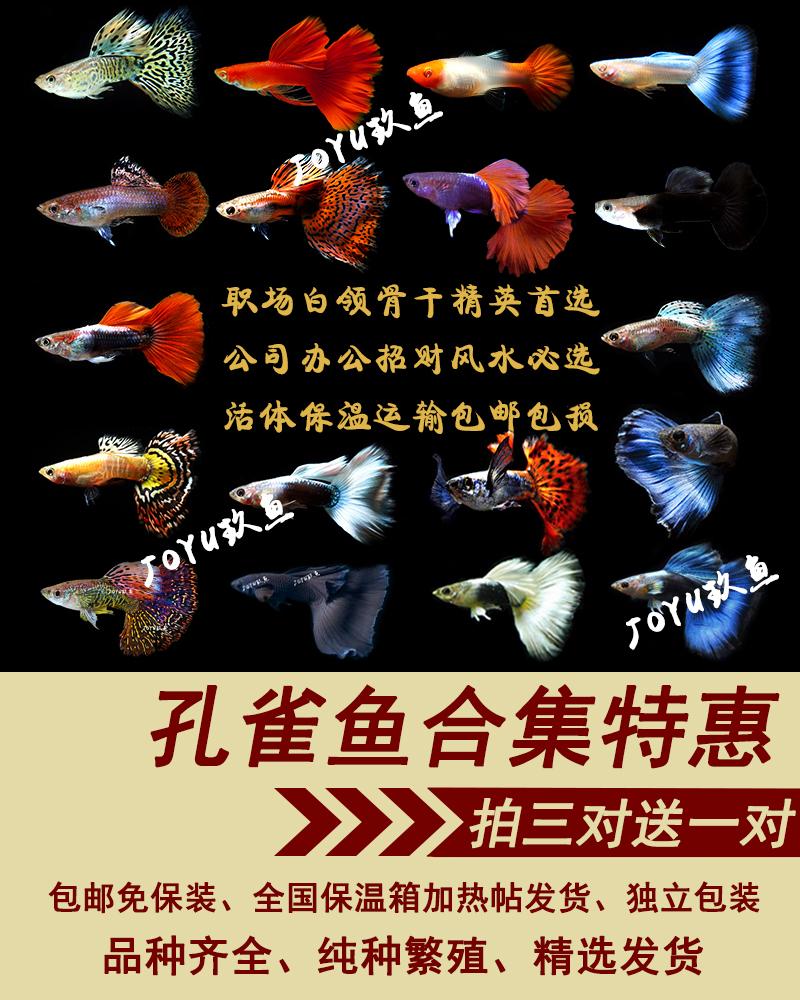 12-01新券孔雀鱼包邮套餐缎带大C活体孔雀鱼纯种小型热带鱼练手小鱼苗繁殖