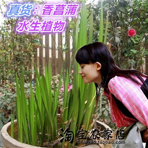 室外水培植物观赏香苗香菖蒲池塘草