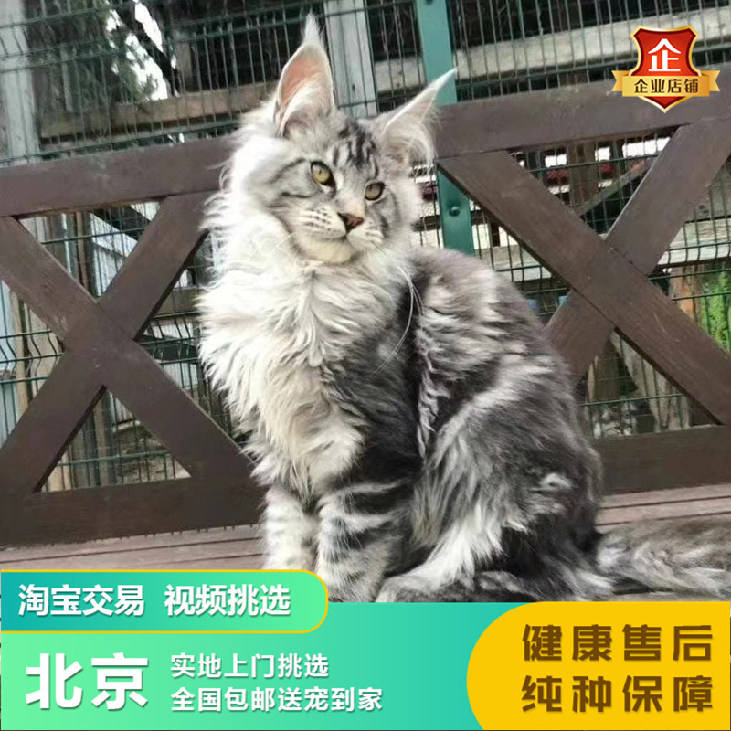 Giant giant Maine Coon cat Silver Tiger spotted brown tiger spotted long haired cat