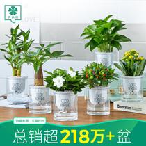 發財樹辦公室內綠植桌面小盆栽花卉綠蘿水培富貴竹蘆薈多肉植物