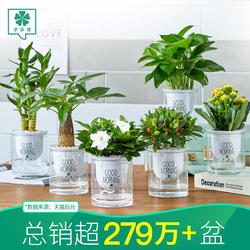盆栽办公室内好养箩富贵竹栀子花卉