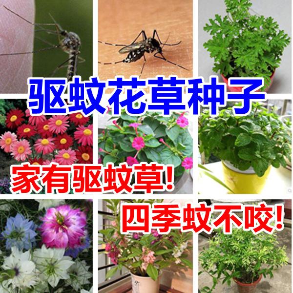 虫よけ草の種除虫菊の種のミント夜来香の種と虫よけ植物のセットメニューは郵送します。