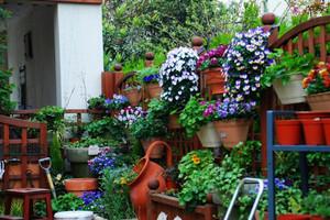 耐寒冷角堇盆栽 冬天盛开的蝴蝶花 易爆盆 三色堇 角堇盆栽苗