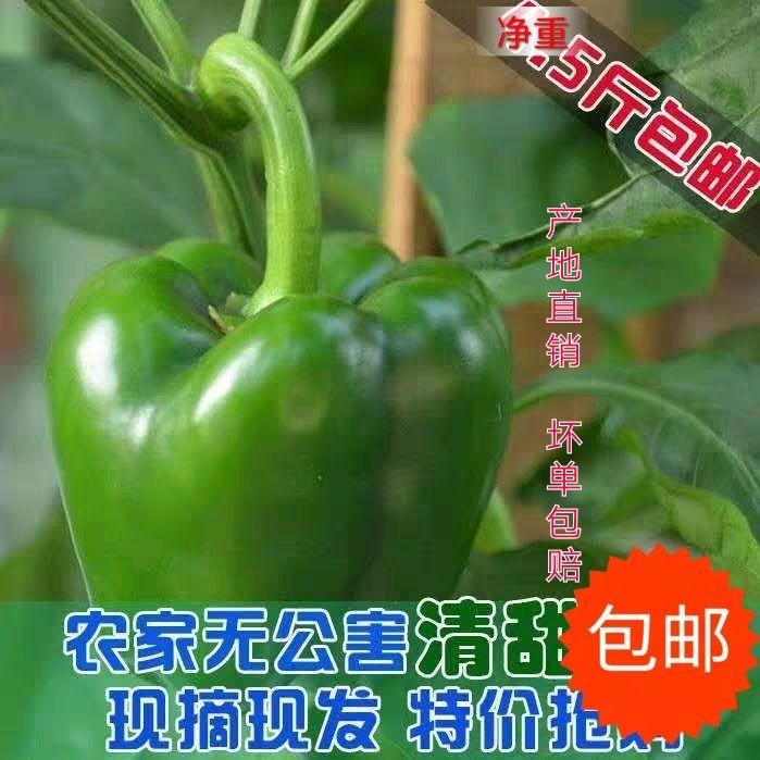 圆椒新鲜蔬菜农家自种现摘现发清甜辣椒灯笼甜椒不辣净重5斤包邮