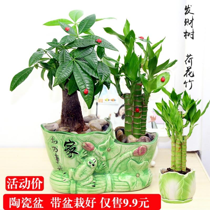 绿植小盆栽 节节高 富贵竹发财树办公室内桌面水培植物防辐射花卉