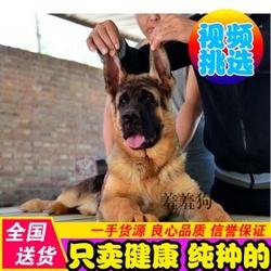 德牧幼犬出售纯种德国牧羊犬黑背苏联红锤系德牧狼狗宠物狗狗北京