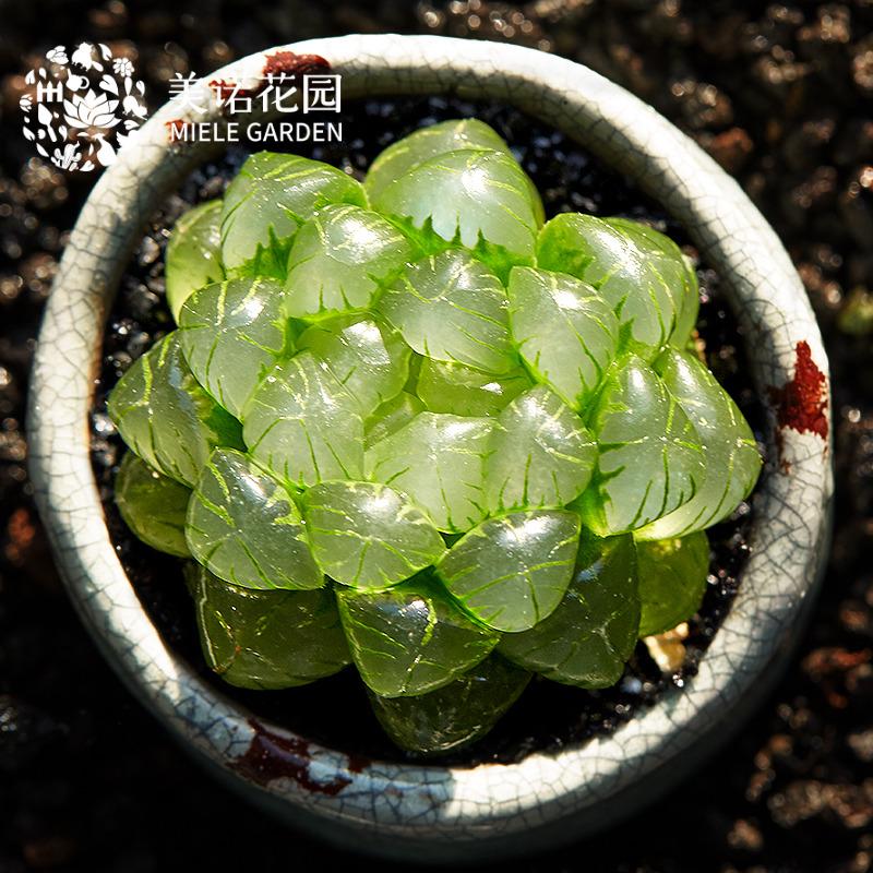 美诺花园姬玉露十二卷单头4cm多肉植物肉肉绿植小盆栽