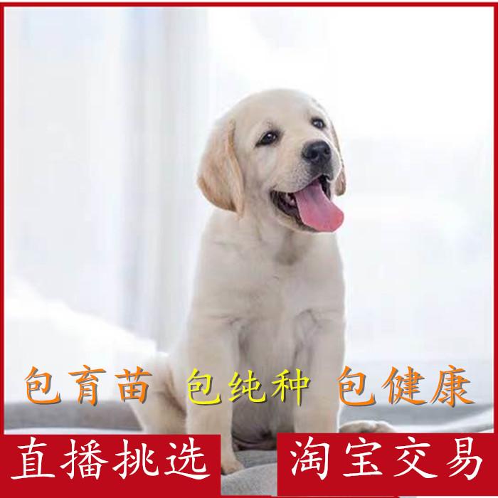 拉布拉多纯种幼犬活体宠物金毛导盲巡回猎犬高智商小狗当家