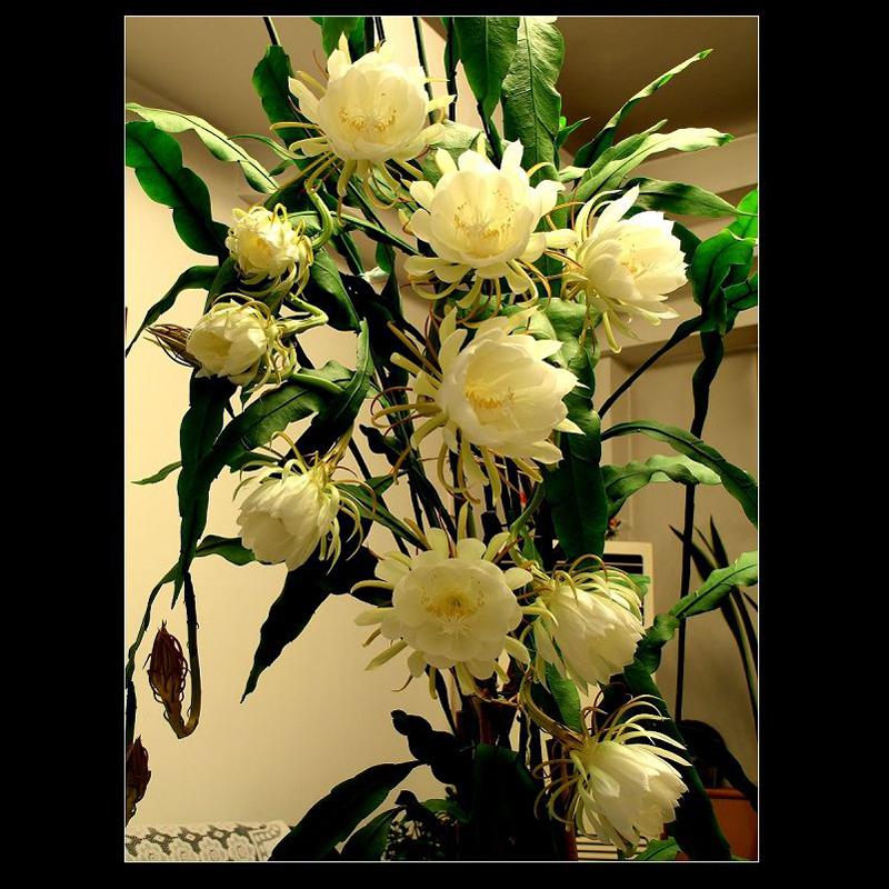昙花苗花卉盆栽观花植物孔雀蓝室内带花浓香四季 孔雀兰 买三送一