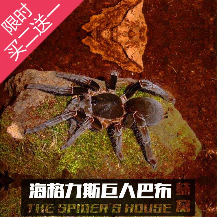 海格力斯巨人巴布 宠物蜘蛛活体8~10cm左右幼体大型巴布超帅