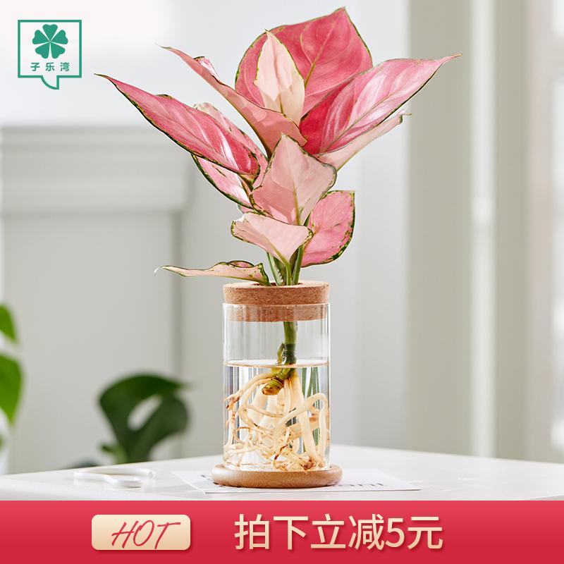 水培植物办公室内绿萝盆栽文竹桌面玻璃瓶琴叶榕四季好养小绿植