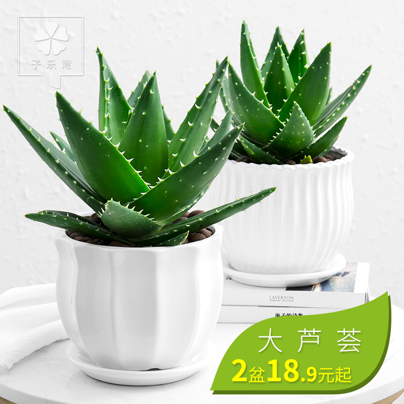 芦荟盆栽植物室内净化空气绿植花卉办公桌防辐射植物吸甲醛多肉