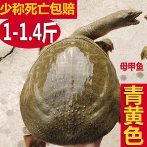 生态外塘放养甲鱼活体团鱼鲜活物小王八中华水鱼食用脚鱼青黄背色