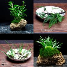 盆景植物绿植蕨类植物狼尾蕨野生植物卷柏铁皮石斛水培附石菖蒲