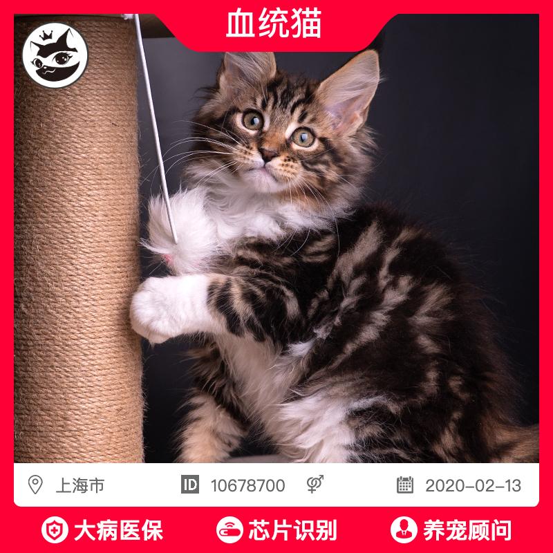 缅因猫纯种巨型缅因猫幼猫银虎斑缅因库恩猫幼崽活体上海上门挑选图片