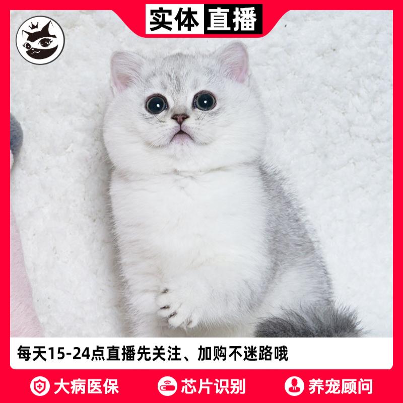 铲屎公社 银渐层英短银渐层猫 英短金渐层猫宠物猫咪上海深圳猫舍