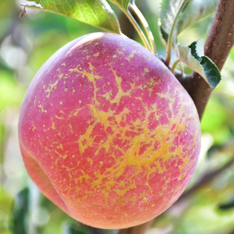 Juicy pregnant woman sweetheart Yunnan Zhaotong sugar heart Apple 10 kg wild ugly Apple seasonal fruit Bingxin red and crisp