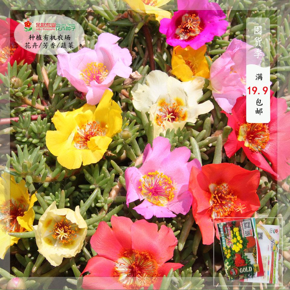 花の種の松葉牡丹の種を常用しています。太陽の花の種のベランダの鉢植えで、花が早く咲きます。