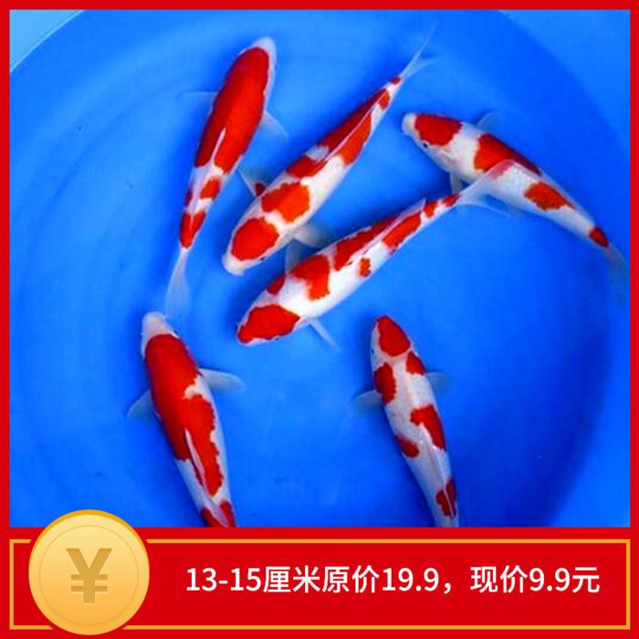 日本纯种进口 红白活体锦鲤鱼苗 观赏鱼 冷水鱼金鱼69包邮鱼饲料