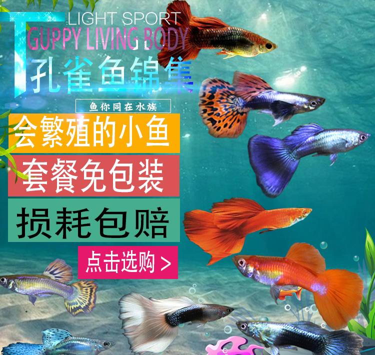 孔雀鱼活体凤尾鱼苗红绿灯淡水宠物金鱼纯种胎生小型热带观赏鱼