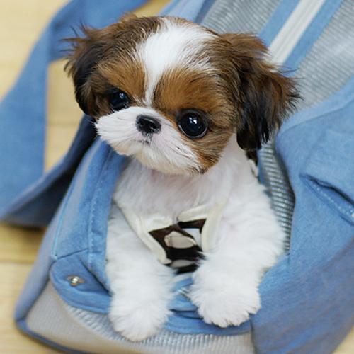 宠物狗狗纯种西施幼犬出售韩国小体西施狗狗长毛犬西施幼犬小体*