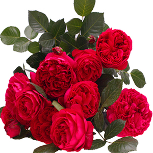 龙沙宝石 蔷薇花苗爬藤花卉藤本月季玫瑰苗欧月四季开花盆栽植物