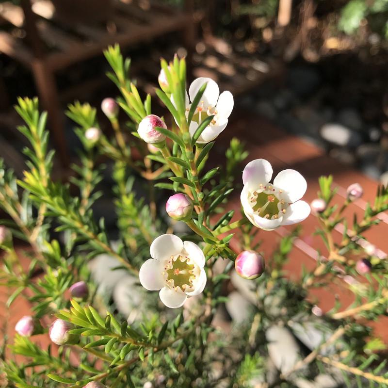 澳洲腊梅淘金彩梅好养进口芳香观花植物盆栽花卉带花苞易爆盆热卖
