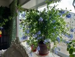 小木槿棒棒糖带花苞不容易死 四季开花好养蓝雪花棒棒糖大苗盆栽