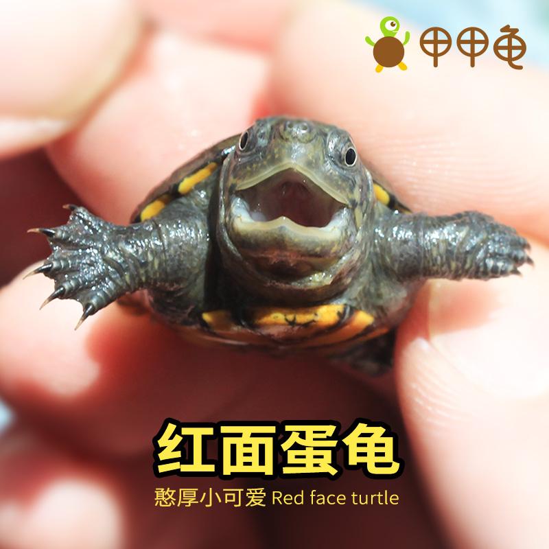 甲甲龟  红面蛋龟苗活体泥水龟乌龟观赏龟迷你小型宠物龟深水龟