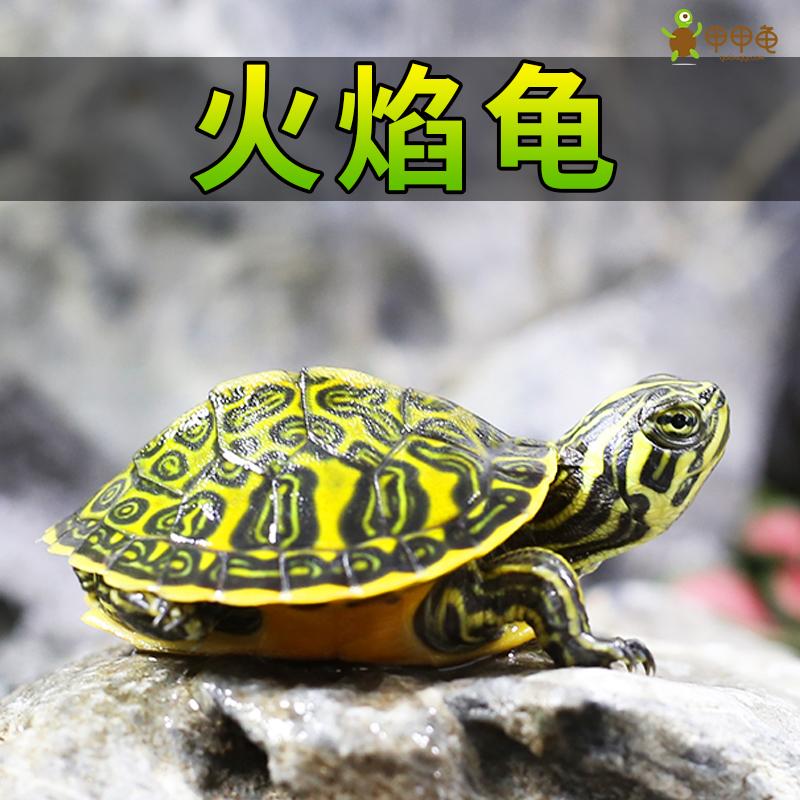 甲甲龟  火焰龟苗活体宽纹冷水宠物观赏乌龟素食吃菜龟鱼缸深水龟