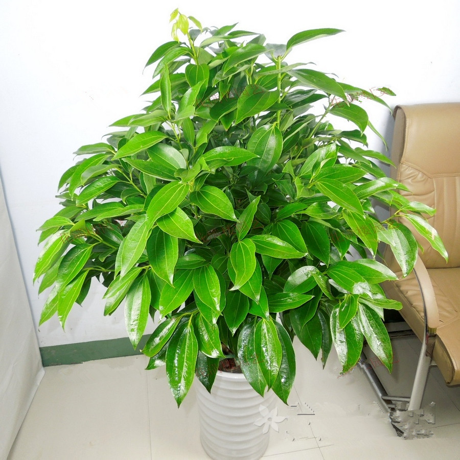 Xiamen flower Pingan tree potted plant delivery business. Free door-to-door green plant relocation