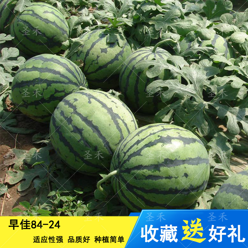 ZAOJIA 8424 watermelon seed early maturing watermelon seed high yield red soil high sugar content giant lazy watermelon seed