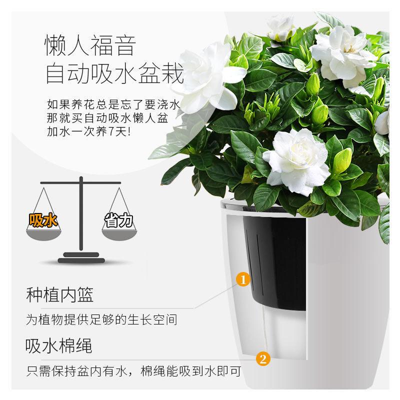 爆款栀子花盆栽花卉室内办公室阳台绿植观花植物(退货包邮费)