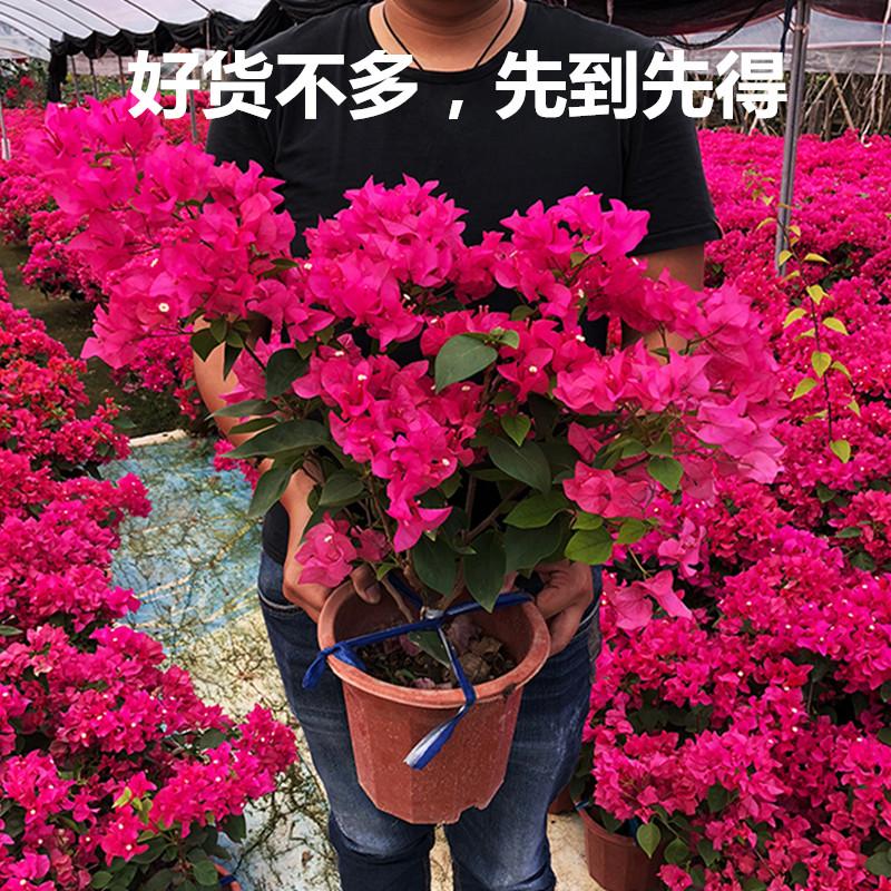 三角梅带花发货重瓣室内桌面阳台植物花期长四季开花不断花卉盆栽