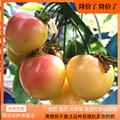 黄樱桃大连特产佳红雷尼尔大将军孕妇水果新鲜顺丰国产黄金车厘子
