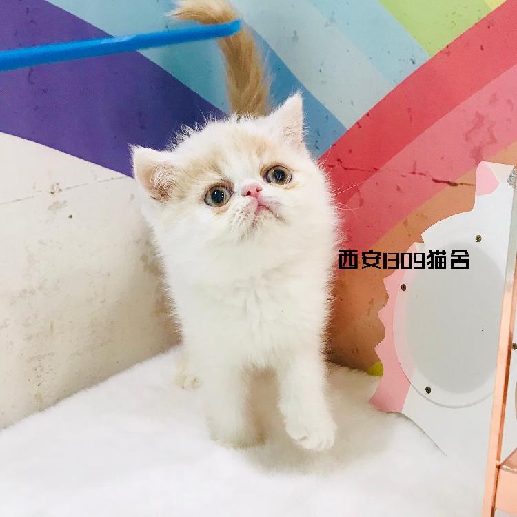 4月更新加菲猫黄白色公弟弟猫健康可爱宠物异短小猫活体幼猫幼仔图片