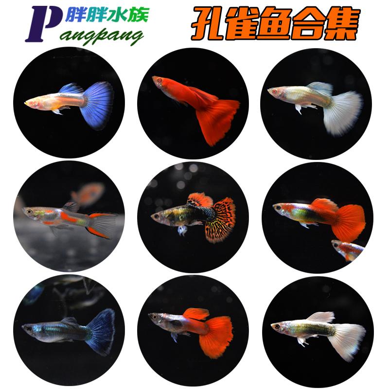 11-21新券七彩凤尾天空蓝小型热带淡水孔雀鱼