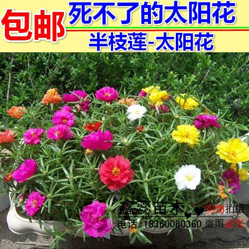 Sun flower seed Scutellaria barbata cant die. Portulaca oleracea can sow potted heat-resistant flowers all the year round