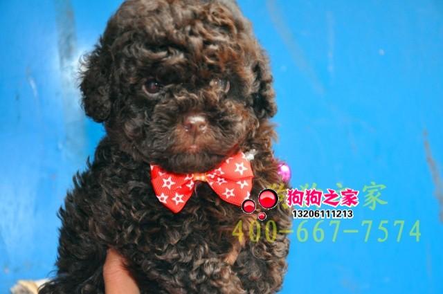 重庆狗狗之家 超可爱纯种玩具泰迪 极品巧克力泰迪 茶杯泰迪