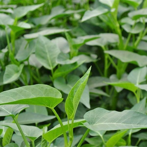 空心菜种子大全秋季室内阳台盆栽蔬菜籽种四季水培种植的易活菜孑3.20元包邮
