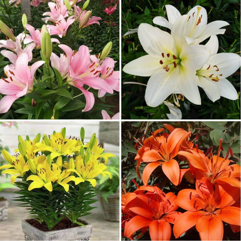 Perfume lily bulbs, big balls, sprouts, multi bud, four seasons strong fragrance, double imported wild Asian Lily potted plants.