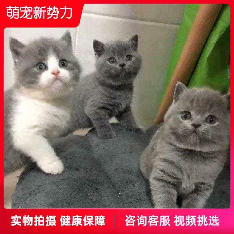 生きているペットの猫を飼っています。青い猫と白い猫の美しさがだんだん深まってきました。イギリスの短い毛の猫の赤ちゃんは乳猫の低い足の猫の家にいます。