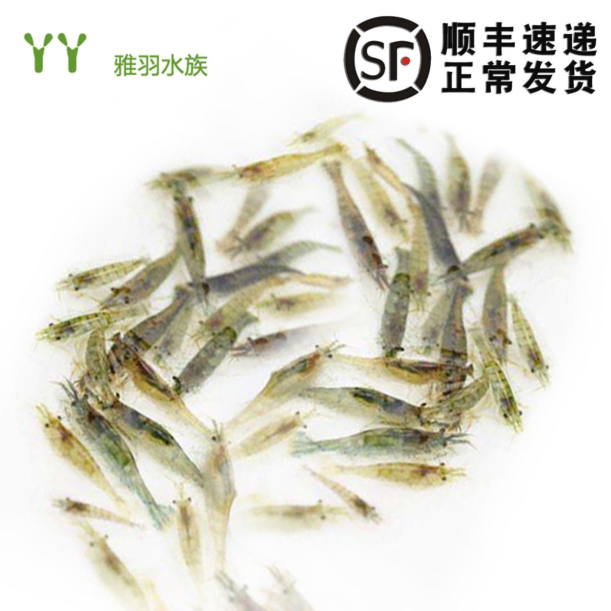 除藻黑壳虾淡水活体宠物清洁水草