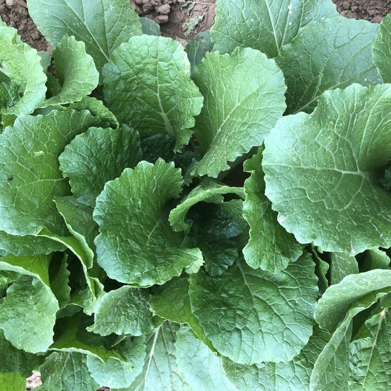 小白菜新鲜四季农家自种生鲜时令天然有机绿色现摘蔬菜3斤装包邮