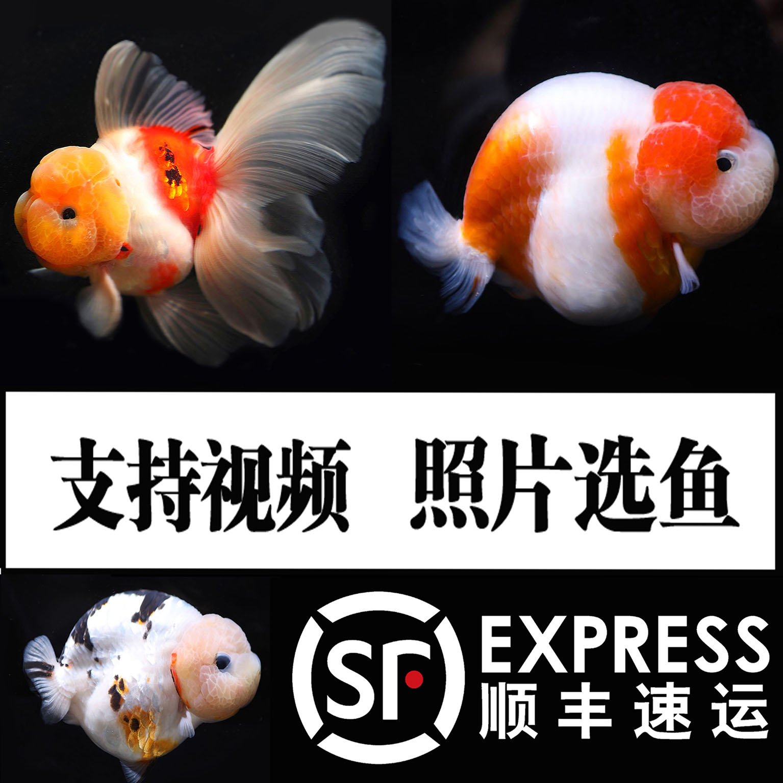 潘氏小尾兰寿水墨金鱼活体精品观赏冷水族宠物奶牛耐活好养活鱼