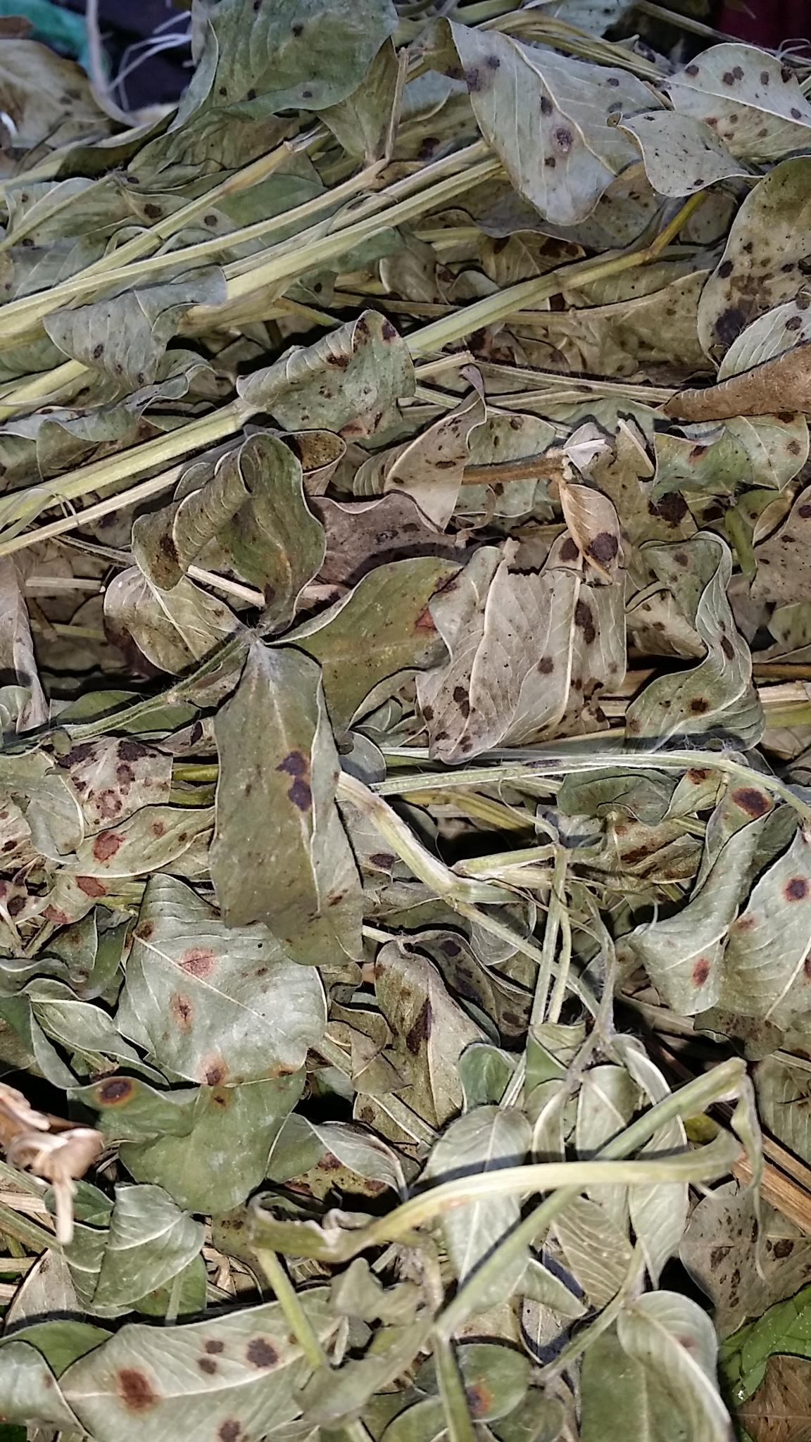 Свежий солнце сухие цветы сырье лист арахис стебель лист 250g