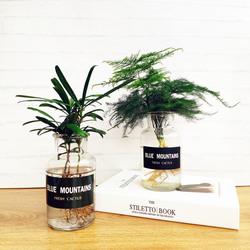 办公室水培植物室内可水养净化空气含盆绿萝植物文竹桌面盆栽绿植