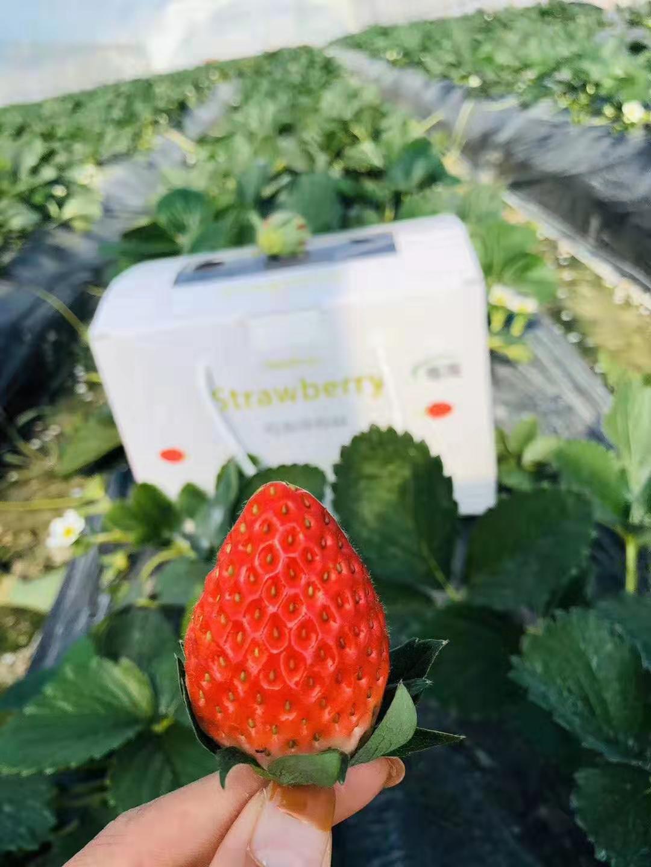 现货上海本地章姬奶油草莓新鲜礼盒装非丹东九九包邮3.4斤闪送